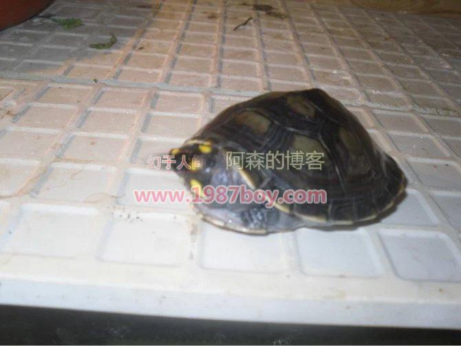 我的忍者神龟,黄头侧颈龟第3张-幻于人间