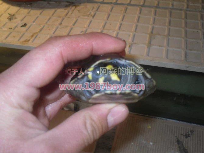 我的忍者神龟,黄头侧颈龟第1张-幻于人间