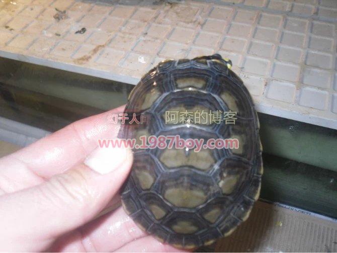 我的忍者神龟,黄头侧颈龟第4张-幻于人间